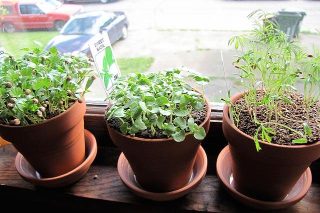 An Indoor Herb Garden
